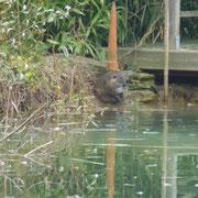 Die Nutrias fühlen sich sichtlich wohl in meinem Teich