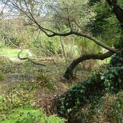 Die Bäume haben im Brombeerdickicht eigenartige Verdrehungen gemacht