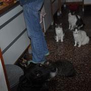 Raubtierfütterung - Luke wartet geduldig, bis alle Katzen gehabt haben