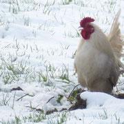 Den Hühnern scheint der Schnee und die Kälte nicht viel anzuhaben - Cocolocco