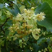 Lindenblüten - leider von einer Winterlinde