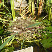 und bauen sogar ein Nest im vorderen Teich