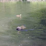 Bacio und die Enten