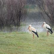 Cigognes blanches sous la pluie