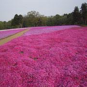 花見 シバサクラ 芝桜 千葉市 富田 ゴールデンウィーク 1