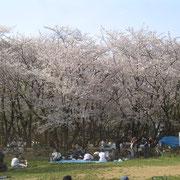 護国神社 花見 桜 サクラ 千葉公園 3