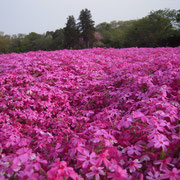 花見 シバサクラ 芝桜 千葉市 富田 ゴールデンウィーク 2