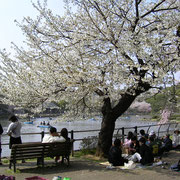 花見 桜 サクラ 千葉公園 池 1