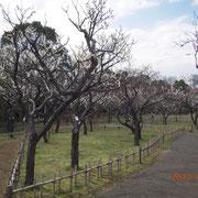 平成24年3月26日 青葉の森公園の梅園 ほぼ満開