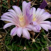 Ef. Hybride, grose Blüte