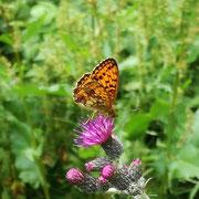 Mädesüss-Perlmutterfalter bevorzugen violette Blüten bei der Nektarsuche - wie hier die Sumpf-Kratzdistel. Foto: T. Schmidt