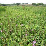 ... und artenreicher Feuchtwiesenbestand mit blühender Kuckuckslichtnelke auf unserer Pflegefläche.
