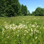 Der Mädesüss-Bestand auf der größeren Feuchtwiese - hier fressen die Raupen des Mädesüss-Perlmutterfalters.