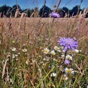 Im Vordergrund Wiesen-Witwenblume, im Hintergrund Margeriten.