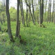 Unter dem lichten Erlenbestand gedeiht eine üppige Krautschicht aus Arten der Feuchtwiesen und Feuchtwälder.