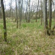 Auf der ungenutzten Feuchtwiese aufgewachsener Erlen-Moorbirken-Wald.
