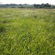 In den ungemähten Bereichen lassen Seggen und Rohrglanzgras kaum Platz für andere Feuchtwiesenarten.