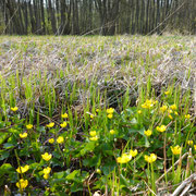 Sumpfdotterblumen auf der größeren Feuchtwiese - einst auf jeder Feuchtwiese in großer Menge zu finden, heute selten.