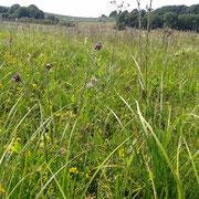 Im gemähten Bereich haben sich z. B. Sumpf-Hornklee, Sumpf-Kratzdistel, Kuckucks-Lichtnelke und andere Arten der Feuchtwiesen wieder ausgebreitet.