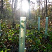 Fertige Flatterulmenpflanzung mit Pflanzschutz.