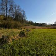 Frühjahr 2020 - Große Bulte der Rispensegge an einem quelligen Graben.