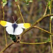 Frühlingsbote auf der größeren Feuchtwiese: Der Aurora-Falter. Seine Raupen fressen auf feuchten Wiesen am Wiesen-Schaumkraut.