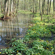 Der von der Stör durchflossene Auwald...