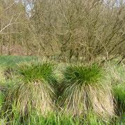 Frühjahr 2016 - Mächtige alte Bulten der Rispensegge säumen einen der Quellbereiche.