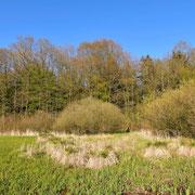 Frühjahr 2020 - Blick auf die Seggenbulten und die angrenzenden Weidengebüsch- und Bruchwaldbereiche.
