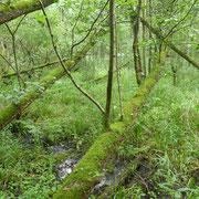 Ein bischen wie am Amazonas - Auwald-Wildnis an der Stör
