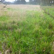Reste der Feuchtwiese mit Sumpf-Segge. Im Hintergrund Schilfröhrichte in ehemaligen Feuchtwiesenbereichen.