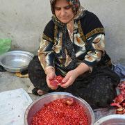 Zeit der Granatapfel-Ernte