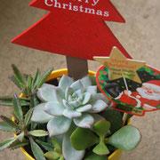 多肉植物たちもクリスマス仕様になりましたよ。