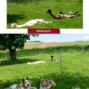 Familienhund Elo und Alpakas