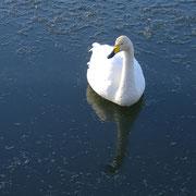 冬の訪れと共に、たくさんの白鳥が飛来します