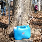 メイプルの樹液採取 緑の村ならではの楽しみ