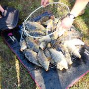 carpes - pêche - Baie de Somme