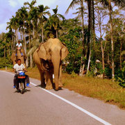 An elephant on the road