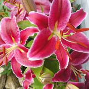 Üppig wachsende orientalische Lilien