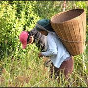 Wo Landwirtschaft noch möglich ist, wird Hirse angebaut, hier bei der Ernte.