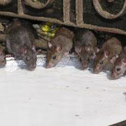 Im Rattentempel von Deshnok. Die massenhaften Ratten werden hier hoch verehrt, wehe dem, der einer auf den Schwanz tritt, oder gar verletzt - teure Opfergaben werden dann erwartet.