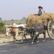 In Burma sind oft Ochsenkarren unterwegs, unendlich langsam.