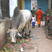 Millionen Kühe auf Indiens Straßen durchwühlen die Abfälle auf der ständigen Suche nach Futter.