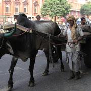 Ein Karren wird vom Buckelrind gezogen, hier in der Grosstadt Jaipur gesehen.