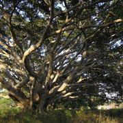 Es gibt in Burma auffallend viele so gewaltige und uralte Bäume wie hier einer gezeigt wird.