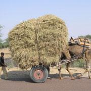 Im Unionsstaat Rajastan sind Kamelkarren immer wieder anzutreffen.