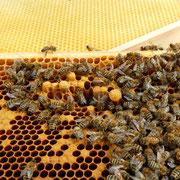 Weiselzellen sind Zellen, in denen sich eine Weisel, eine Bienenkönigin entwickelt. Dieses Volk hat seine Königin verloren und zieht sich eine neue heran.