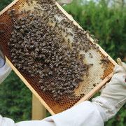 Bienen - Kontrolle