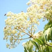 Bienenbaumblüte, auch Schnurbaum genannt