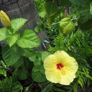 """❀ ハイビスカス ハワイ語で""""Aloalo""""(アロアロ)ハワイ州の花で、気品があり「神に捧げる花」と言われています。和名は ブッソウゲ(仏桑花) 沖縄では「アカバナー」と呼ばれ、南部では「死者の死後の幸福」を願って墓地に植栽する習慣があります。"""